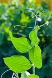 Grüne junge Erbseneintragfäden Stockfoto