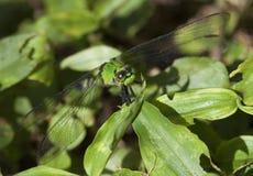 Grüne Libelle Stockbilder