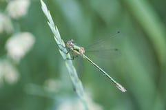 Grüne Libelle auf einem Stiel Stockfotos