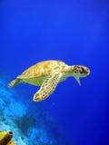 Grüne Meeresschildkröte Stockfoto