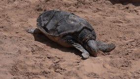 Grüne Meeresschildkröte im Unterwasserobservatorium Marine Park in Elat, Israel stock footage