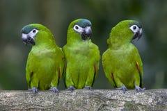 Grüne Papageien sitzen auf einer Niederlassung am Singapur-Zoo in Singapur Lizenzfreie Stockbilder