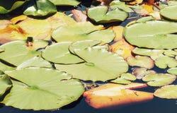 Grüne Seerosen im dunklen Wasser Stockbilder