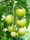 Grüne Tomate. Lizenzfreie Stockbilder