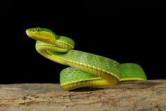 Grüne Viper, die auf Holz kriecht Stockfotografie