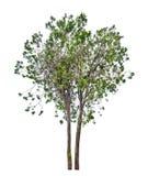 Grüner Arborvitae lokalisiert auf Weiß Lizenzfreies Stockbild