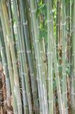 Grüner Bambusbaum Lizenzfreie Stockfotografie