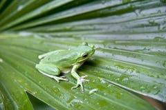Grüner Baumfrosch Stockbild