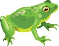 Grüner Frosch Stockbild