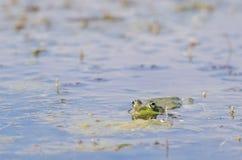 Grüner Frosch im Wasser Stockbild