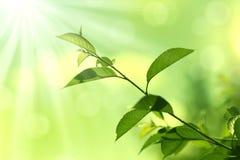 Grüner Leaves.Nature Hintergrund Lizenzfreies Stockfoto