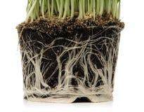 Grüner Mais Lizenzfreies Stockbild