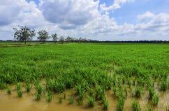 Grüner Paddy archivierte mit Landschaft des Baums und des blauen Himmels in Malaysia Lizenzfreie Stockfotografie
