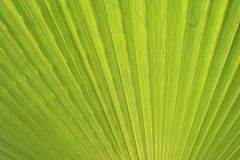 Grüner Palmblattabschluß oben Stockfotografie