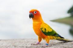 Grüner Papageienwellensittich Stockbilder