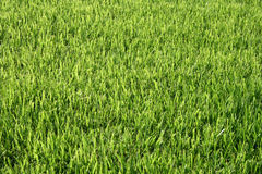 Grüner Rasen Lizenzfreies Stockfoto