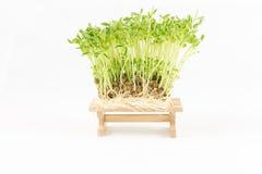 Grüner Sprössling der Natur, der vom Samen auf hölzernem wächst Lizenzfreies Stockfoto