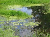 Grüner Sumpf Stockfotografie