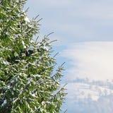 Grüner Tannenbaum abgedeckt mit Schnee Stockfotos