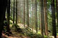 Grüner Wald und Strahlen des Lichtes Stockfotografie