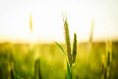 Grüner Weizen auf dem Gebiet Stockbilder