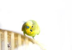 Grüner Wellensittich, der auf Käfig sitzt Lizenzfreie Stockfotos