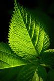 Grünes Blatt Lizenzfreie Stockfotografie