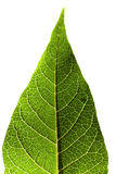 Grünes Blatt auf Weiß Stockfotos