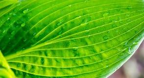 Grünes Blatt mit Wassertropfen im Sonnenscheinbeschaffenheits-Hintergrundabschluß oben Lizenzfreie Stockfotografie