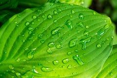 Grünes Blatt mit Wassertropfen im Sonnenscheinbeschaffenheits-Hintergrundabschluß oben Stockbilder
