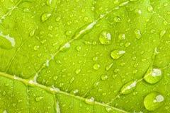 Grünes Blatt mit Wassertröpfchen Stockfoto