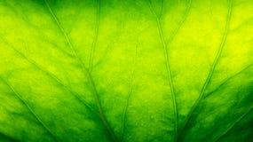 Grünes Blattmakro Lizenzfreies Stockbild