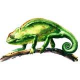 Grünes Chamäleon, Chamaeleo calyptratus, auf einem Baum, lokalisiert, Aquarellillustration Lizenzfreie Stockfotografie