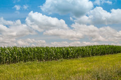 Grünes Feld des wachsenden Mais Lizenzfreie Stockfotos