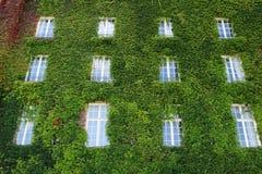 Grünes Gebäude - Efeu auf einem gesamten Gebäude mit 3 Geschichten Stockfoto