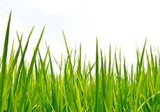 Grünes Gras des neuen Frühlinges Stockbild