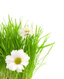 Grünes Gras mit camomiles Lizenzfreie Stockfotos