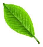 Grünes junges Frühlingsblatt getrennt Lizenzfreies Stockfoto