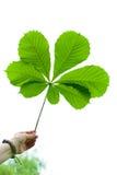 Grünes Kastanienblatt in der Hand der Frau Lizenzfreie Stockbilder