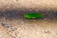grünes katydid Lizenzfreie Stockfotografie