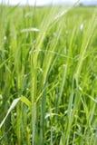 Grünes Korn des Getreides pflanzt wachsende Spitzen auf Frühling Lizenzfreies Stockfoto