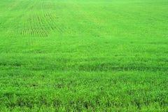Grünes Krautgrasfeld Lizenzfreie Stockbilder