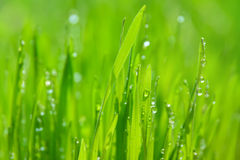 Grünes nasses Gras mit Tau auf Blätter Stockbilder