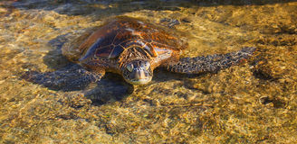 Grünes Seeschildkröte Stockfoto