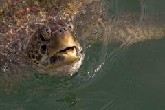 Grünes Seeschildkröte, die für Luft aufkommt Stockfotos