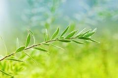 Grünes Trieb mit Tautropfen, natürlicher ökologischer Hintergrund Lizenzfreie Stockfotos