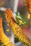 Grünes weibliches sunbird, das auf gelber Aloe sitzt, um Nektar zu erhalten Lizenzfreie Stockfotos
