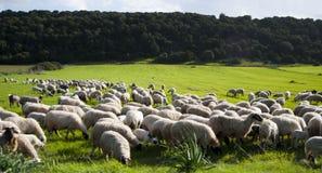 Grünfelder und -schafe Stockfotos