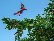 Grünflügelige Keilschwanzsittich-Aronstäbe - Costa Rica Lizenzfreie Stockfotos