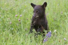 Gröngöling för svart björn i fält av vildblommor Royaltyfri Fotografi